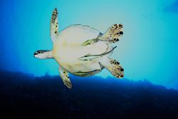 A large turtle on a wall dive in Palau by Terry Moore